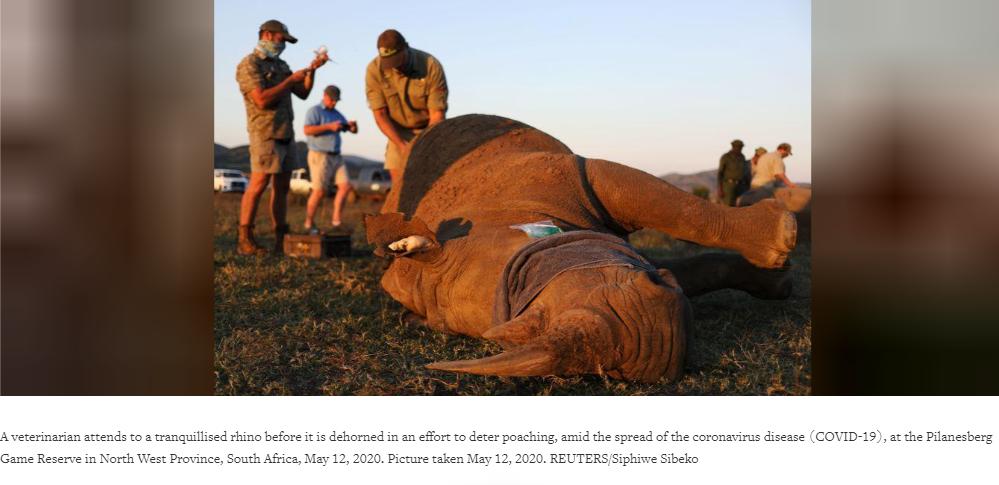rhino dehorning
